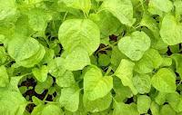 tanaman yang menguntungkan, tanaman yang mudah ditanam, tanaman yang cepat berhasil, usaha tanaman, tanaman sayur, sayur bayam, bayam