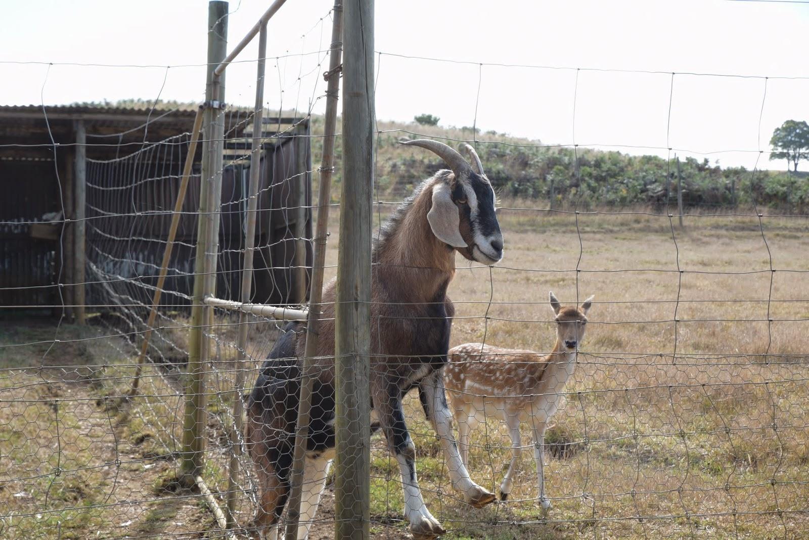 20150223:澳洲。塔斯馬尼亞 Tasmania。伯尼 Burnie,羊駝牧場Alpaca Park
