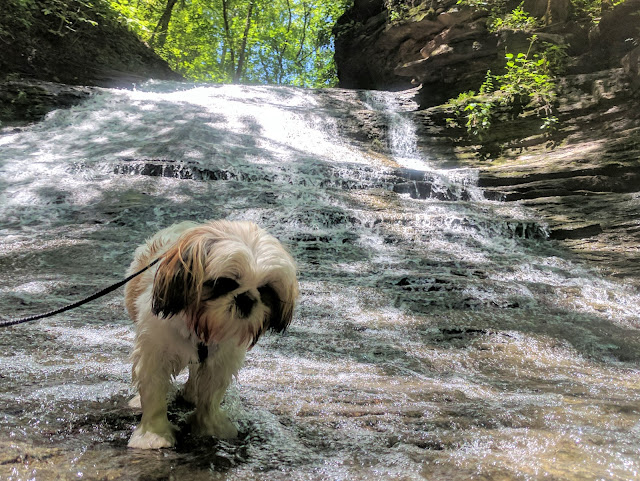 Photo of our Shihtzu Teddy watching the water move down past him at the top of Jackson Falls