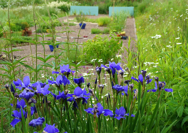 Iris 'Silver Edge' with the new herb garden behind