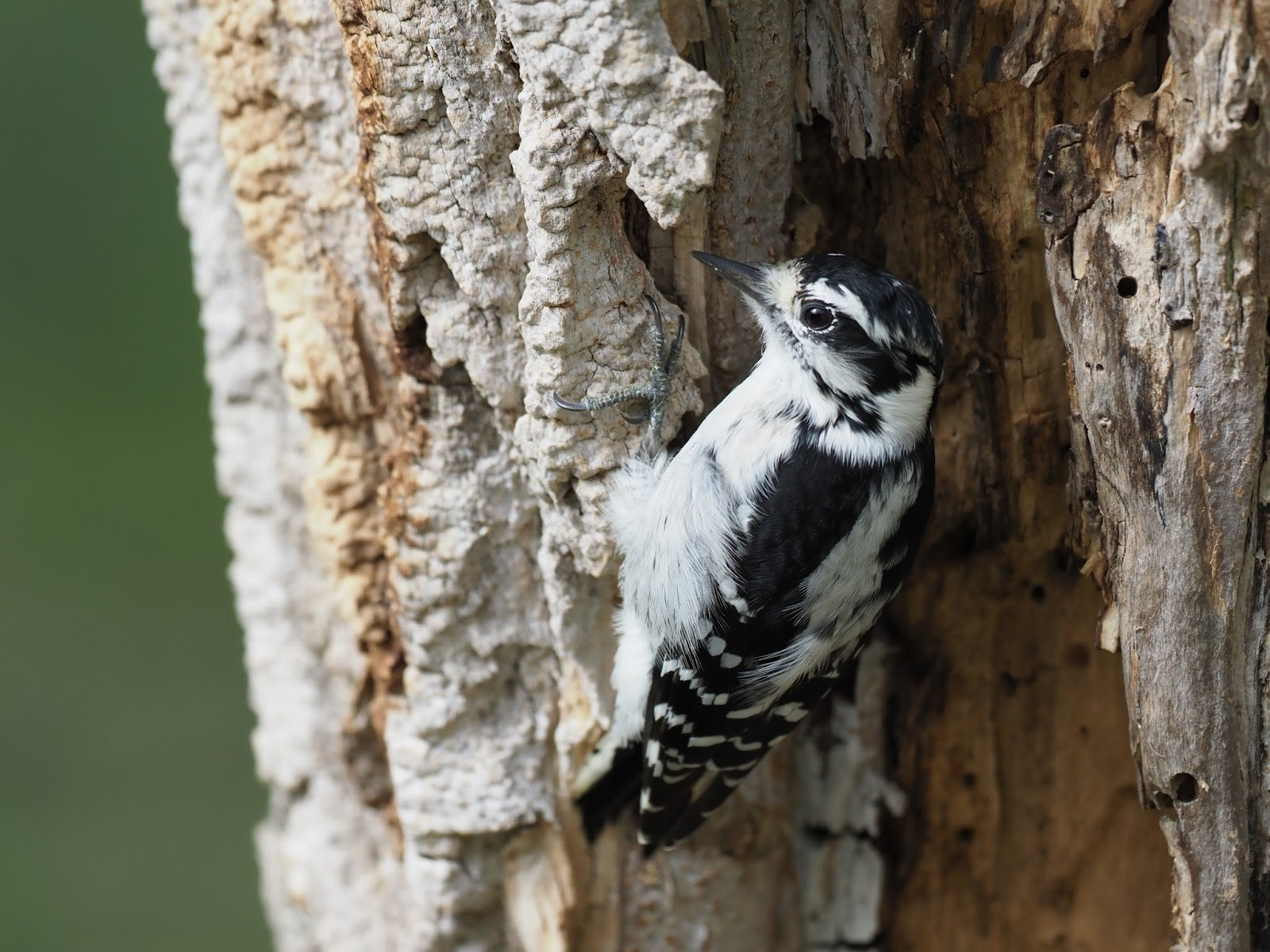 Picture of a downy woodpecker.