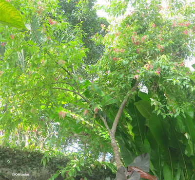 Cinnamomum, the tree that produces cinnamon