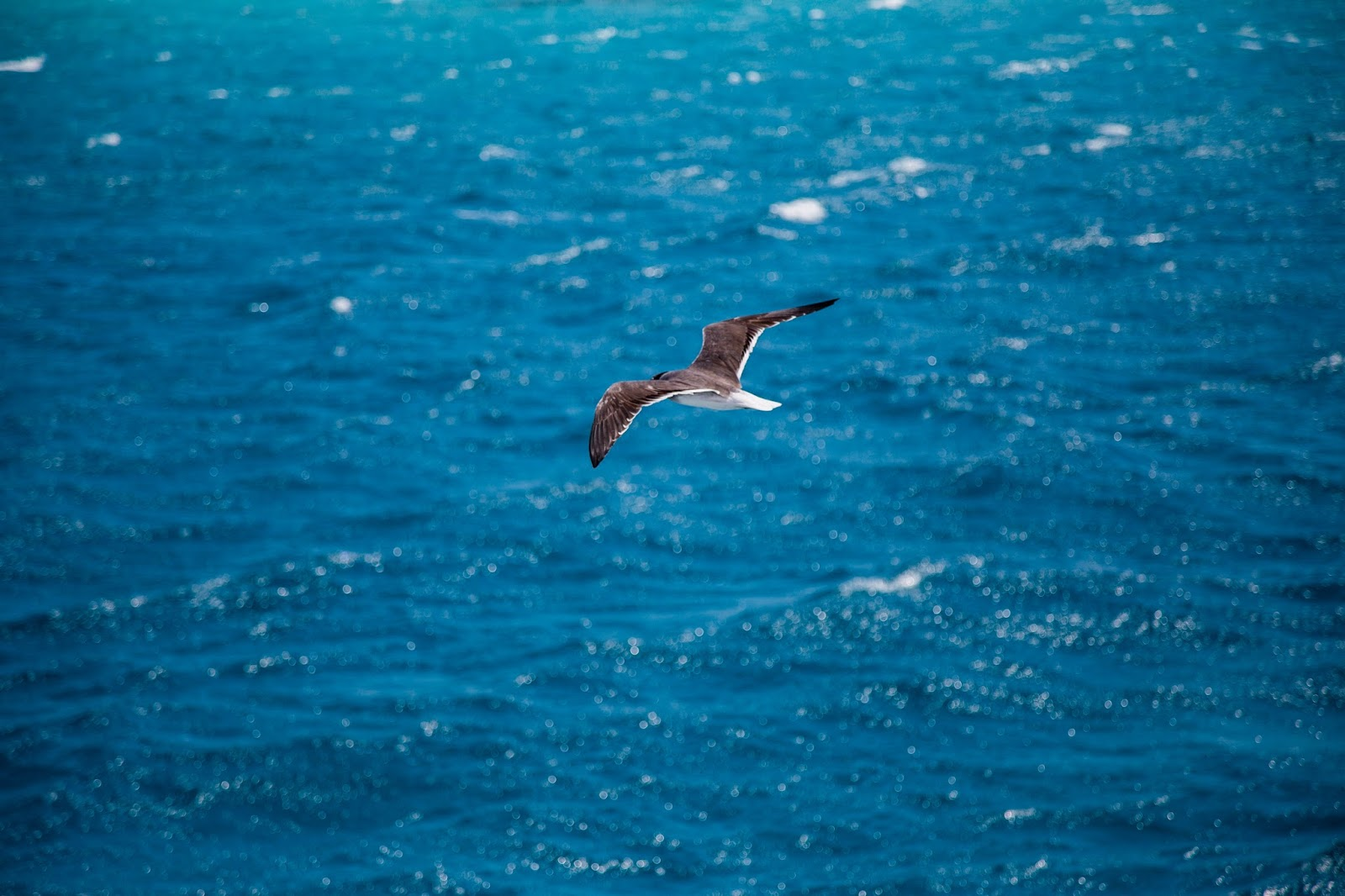 Seagull Red Sea