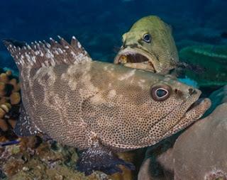 Kerapu Macan, Ikan Air Payau yang Menyeramkan