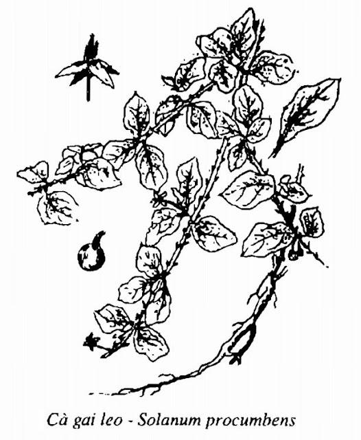 Hình vẽ Cà Gai Leo - Solanum procumbens - Nguyên liệu làm thuốc Đắp vết thương Rắn Rết cắn