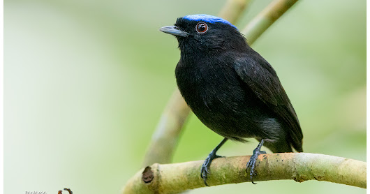 Featured Species: Blue-crowned Manakin (Lepidothrix coronata)
