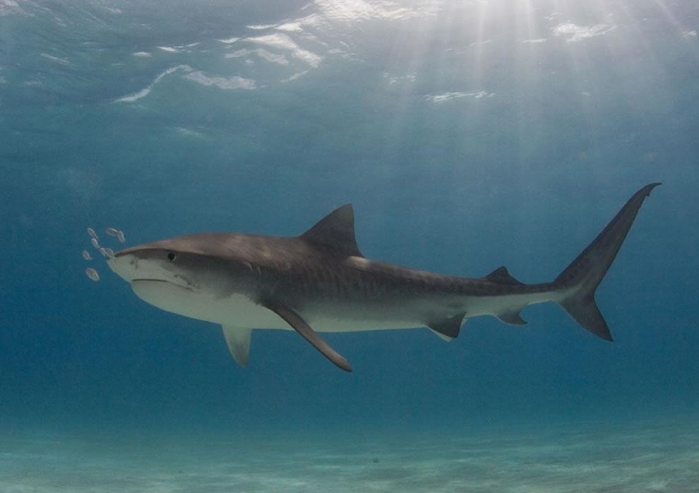 اسماك القرش تحت الماء Tiger-shark-at-Tiger