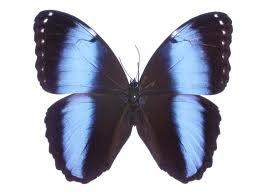 Mariposa aquiles Morpho achilles
