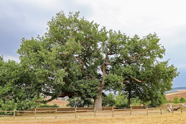 quercia delle checche pienza toscana val d'orcia siena ancient tree