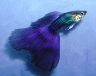 Joe 39 s aquaworld for exotic fishes mumbai india 9833898901 for Purple betta fish for sale
