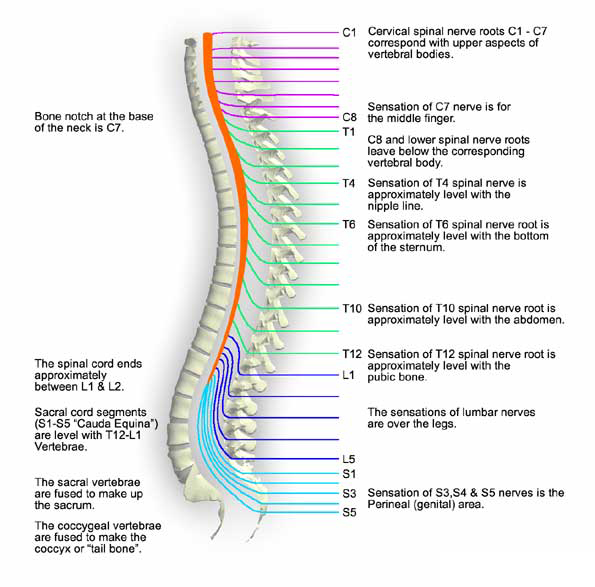 Secret Of Spinal Cord And Human Energy