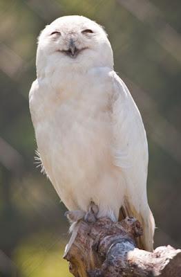 طائر البوم الضاحك
