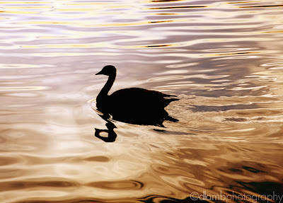 http://www.redbubble.com/people/dlamb/works/10976977-swimming-in-silhouette?c=126746-abstract-from-nature&p=photographic-print