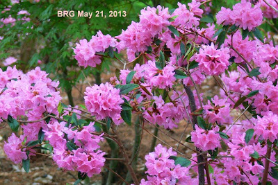 Pink blossoms cover rhododendron in full bloom Spring 2013, Port Credit ON