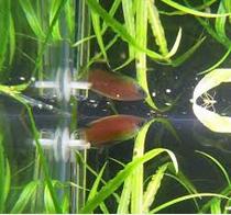 Ikan Hias Gurami Madu (Honey gourami) Suka di Setengah Permukan Air