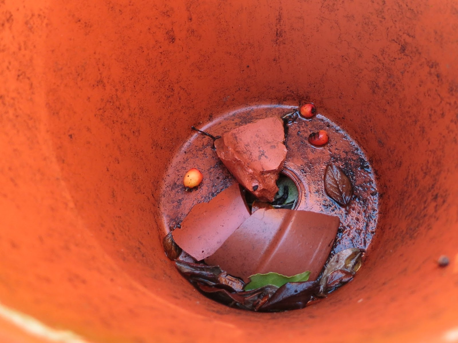 Cotoneaster Berries and Shards in a terracotta pot
