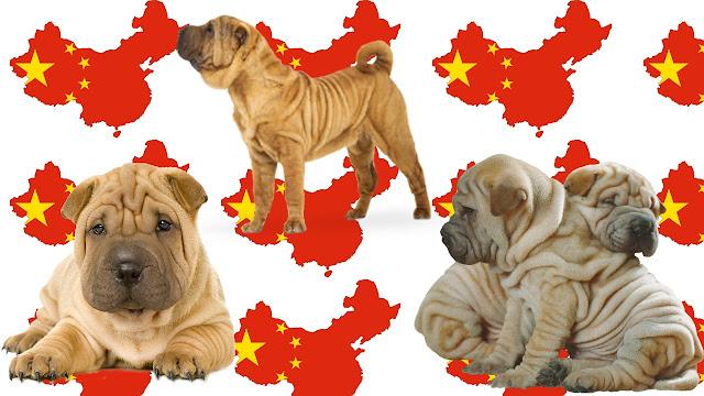 Shar Pei raza china de perros