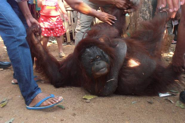 Direktur COP Sebut Orangutan yang Tewas di Bontang Dibunuh