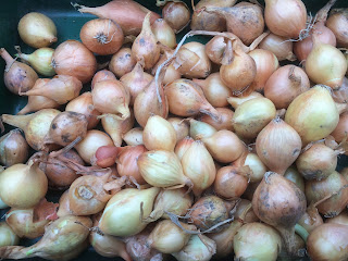 gardening, pig row, how to plant onions