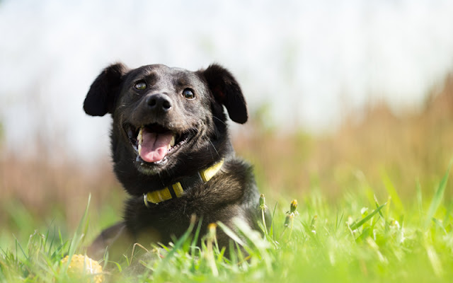 What kind of dog lives longest? Small dogs live longer than larger dog, and mixed breeds live longer the purebreds, this study found. Photo shows mixed breed dog.