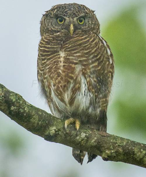 Indian birds - Picture of Asian barred owlet - Glaucidium cuculoides
