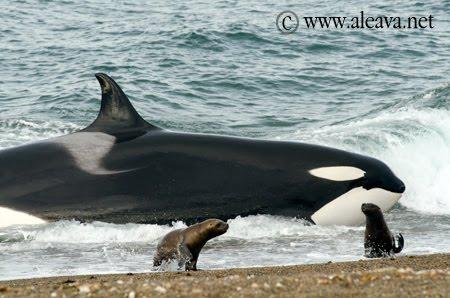 Terminando la temporada de Orcas en Punta Norte.