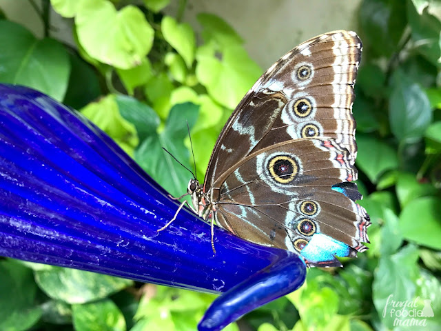 From about mid March to mid September each year, the Pacific Island Water Garden becomes home to thousands of freely flying butterflies during the Blooms & Butterflies event at the Franklin Park Conservatory in Columbus, Ohio.