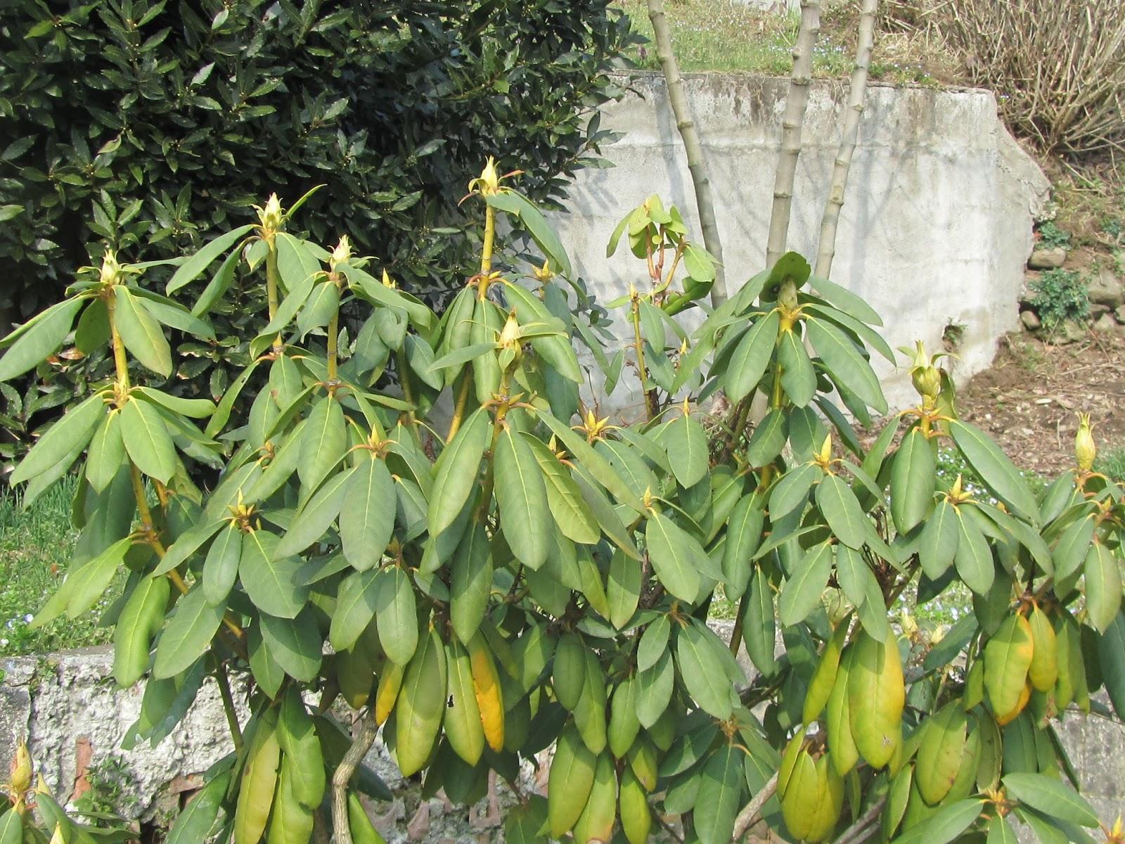 Coltivazione del rododendro rhododendron spp dove - Malattie azalea da esterno ...