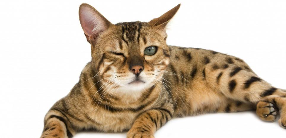 blog 75 infos sant animale douleur chez le chat. Black Bedroom Furniture Sets. Home Design Ideas