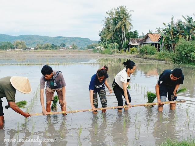 wisata menanam padi di desa wisata kebon agung bantul yogyakarta
