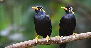 Jenis dan Harga Burung Jalak Terbaru