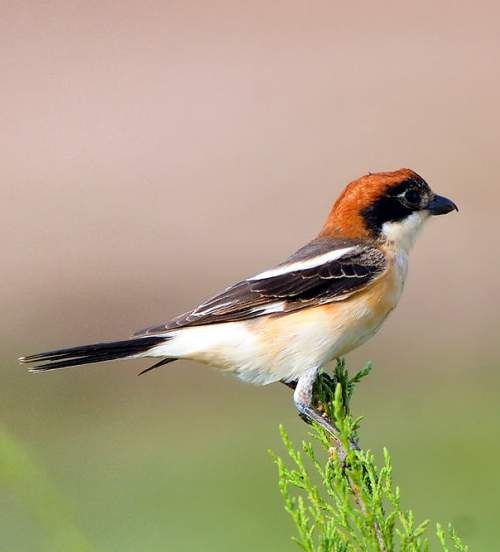 Indian birds - Photo of Woodchat shrike - Lanius senator