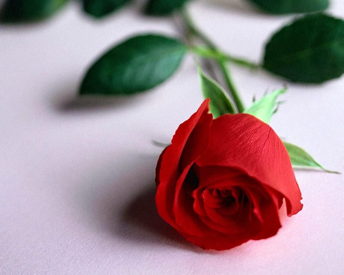 أجمل وردة حمراء