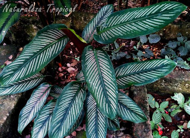 Hojas de la planta Calathea majestica