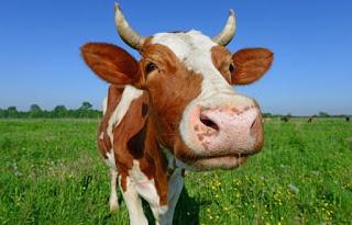 16,4 εκατ. Αμερικανοί επιμένουν πως το σοκολατούχο γάλα παράγεται από τις καφέ αγελάδες!