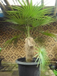 Jual pohon palm jenggot murah