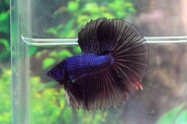 Warna Dasar Kombiasi Ikan Cupang