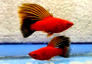 Macam macam jenis ikan platy dan gambarnya