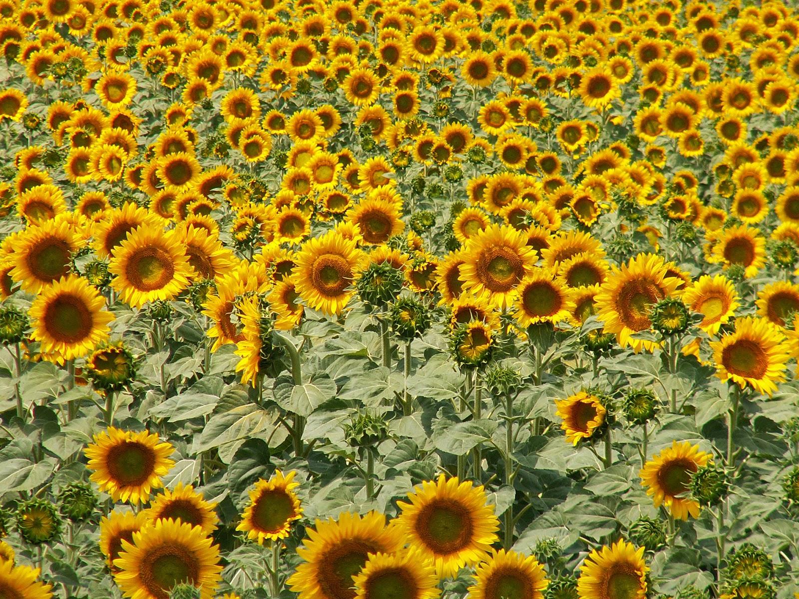 Słoneczniki, czyli konkurencja z bliska