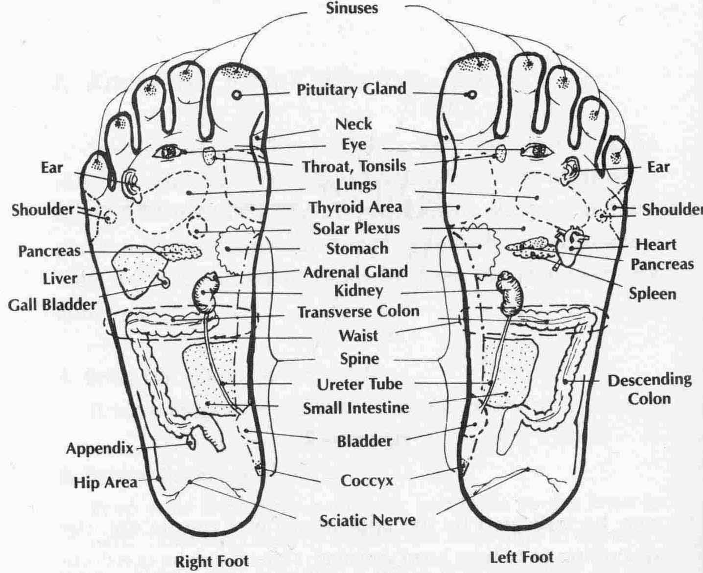 Foot Nerve Endings Diagram How Do You Draw A Family Tree Science Update Reflexology