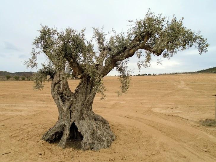 Un olivo en Faió / Fayón