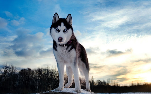 Most Dangerous siberian husky Dogs