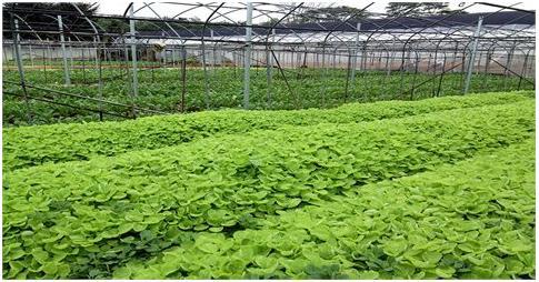 Vườn rau xanh mướt tại Vũng Tàu
