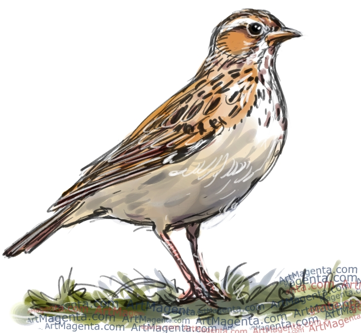 Woodlark sketch painting. Bird art drawing by illustrator Artmagenta