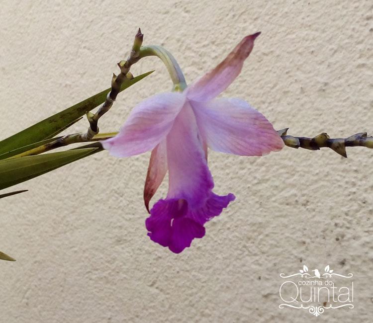 Orquídea cana, muito diferente da orquídea comum, abre suas flores em longas varas com mais de 1m de comprimento.
