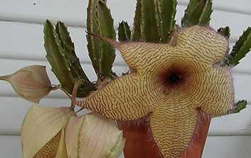 Inilah Bunga Dengan Aroma Tak Sedap Yang Menyengat