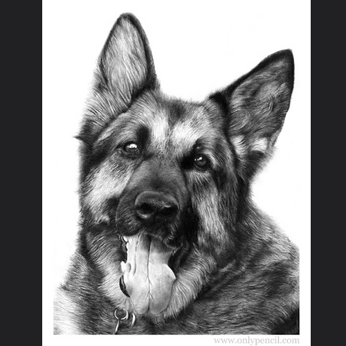 12-German-Shepherd-Lisandro-Peña-Animal-Drawings-with-Attention-to-Minute-Details-www-designstack-co