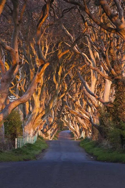 "300 year old Beech trees, known as ""The Dark Hedges,"" line the Breagah Road in Northern Ireland. #nature #amazing #hedges #trees #ireland"