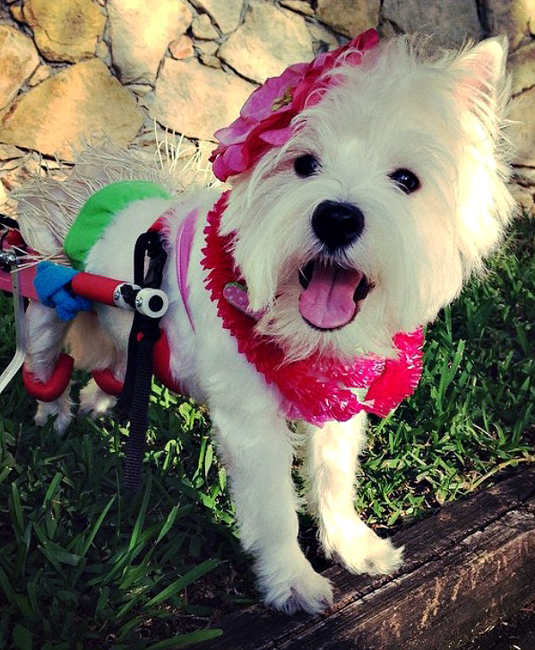 Lola, the beautiful paralyzed Westie, shows off her new wheels