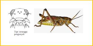 contoh mulut serangga pengunyah adalah belalang